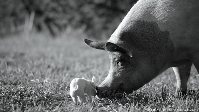 Dois porcos num campo