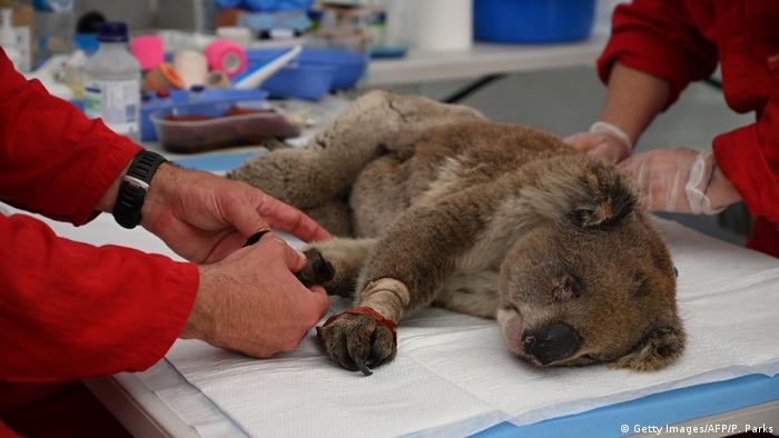 Nach Buschbränden: Koalas vom Aussterben bedroht?
