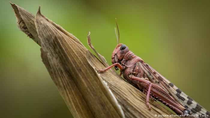 Desert locust on maize crops in Kenya