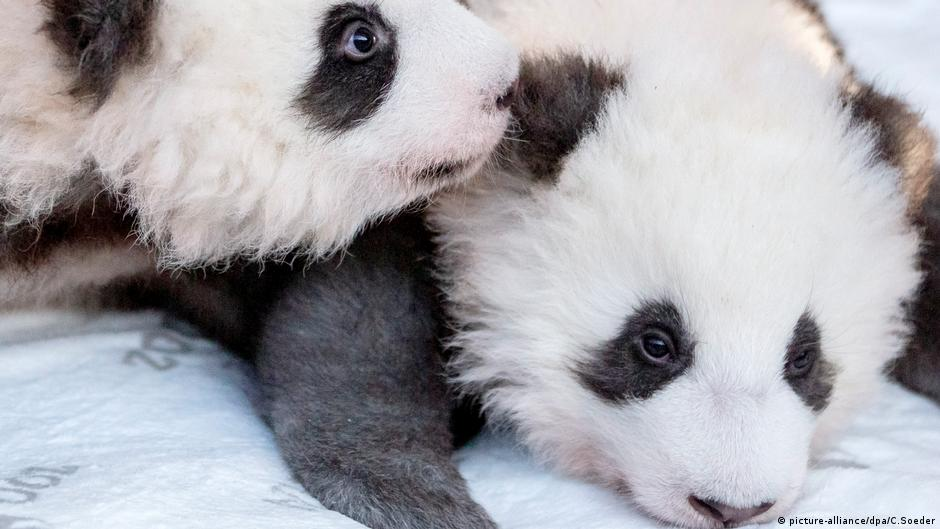 Pit and Paule - the Panda cubs at Berlin Zoo | DW | 14.07.2020