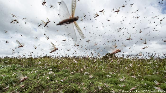 Photo: Locusts in Kenya (picture-alliance/AP Photo/B. Curtis)