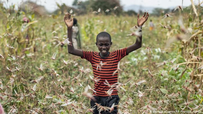 Farmer's son chasing away locusts