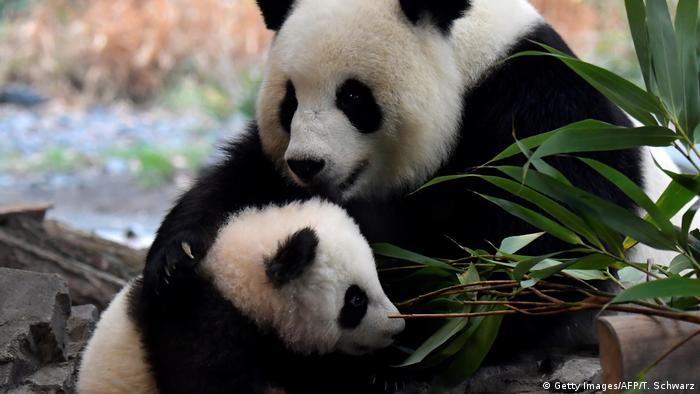 Deutschland Panda Babys im Berliner Zoo