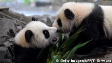 29.01.2020 A picture taken on January 29, 2020 shows Meng Yuan and Meng Xiang, two Berlin-born Chinese panda cubs, at their enclosure during their first presentation to the public at the Zoologischer Garten zoo in Berlin. - Meng Meng gave birth to twins on August 31, 2019. On loan from China, Meng Meng and male panda Jiao Qing arrived in Berlin in June 2017. While the cubs, Meng Yuan and Meng Xiang, are born in Berlin, they remain Chinese and must be returned to China within four years after they have been weaned. (Photo by Tobias SCHWARZ / AFP) (Photo by TOBIAS SCHWARZ/AFP via Getty Images)