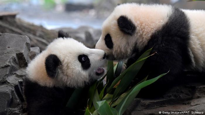این دو خرس پاندا با نامهای پیت و پاوله دوقلو هستند و نخستین پانداهایی به شمار میآیند که در آلمان به دنیا آمدهاند. این دو هنوز چند ماهی از عمرشان نمیگذرد، اما قرار است که در سن ۴ سالگی به چین فرستاده شوند.