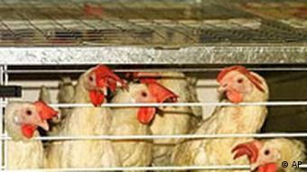 Chickens in a factory farm