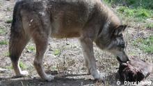 Wolf in Kroatien