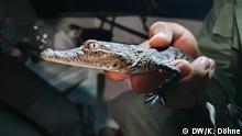 Ein junges Beulenkrokodil (Morelet's Crocodile) aus der Nähe Schlagwörter: Global Ideas, Belize, Environment, Conservation Credit: Katja Döhne
