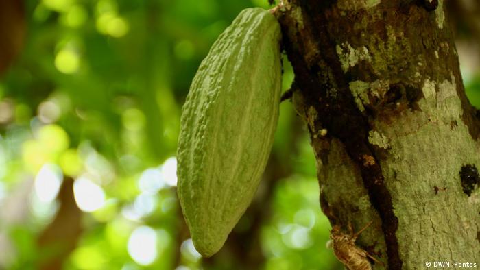 Fruta de cacaueiro no pé