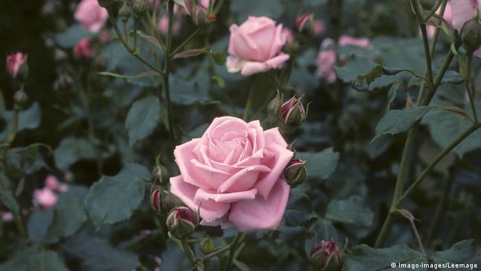 BG Rosen   Rosa x Rose Coral Dawn AUFNAHMEDATUM GESCHÄTZT PUBLICATIONxINxGERxSUIxAUTxHUNxONLY Copyright PE