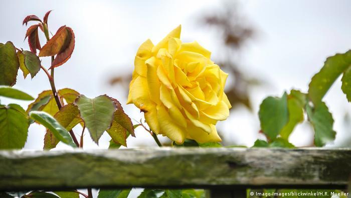 BG Rosen   Goldstern Rose (Imago-Images/blickwinkel/H.R. Mueller)
