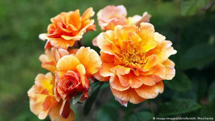 BG Rosen   Orange Rose