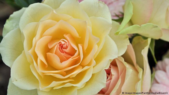 BG Rosen   Gelb Weiß Rose (Imago-Images/Panthermedia/bluemli)