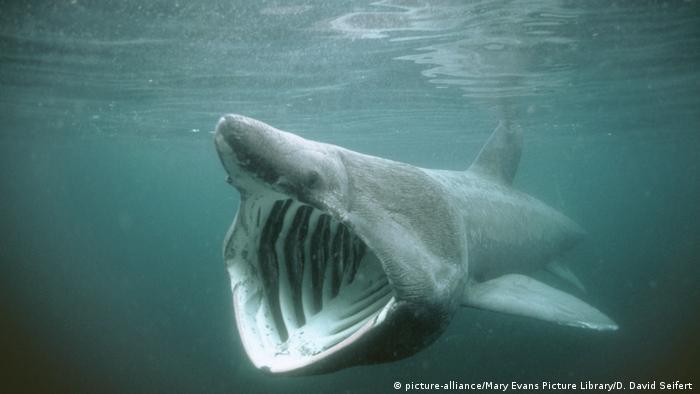 Riesenhai - Cetorhinus maximus