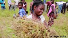 Eco Africa Getreideernte in Mali