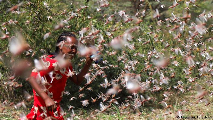 Ethiopian girl fending off desert locusts on a farm