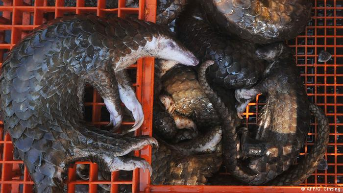 Dead pangolins lie on red plastic crates