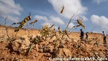 Somalia ruft Notstand aus wegen Heuschreckenplage