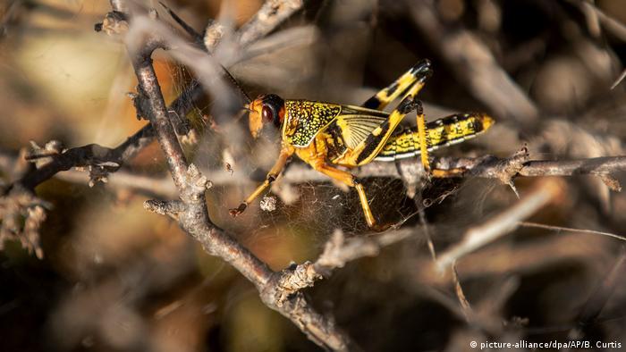Desert locust in Somalia