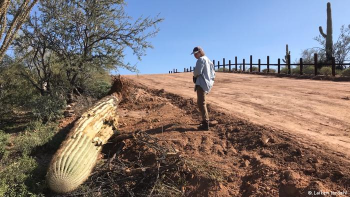 Kevin Dahl look at a cactus felled to make way for the border wall in Organ Pipe Cactus National Monument