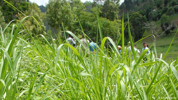 Napier grass in Tanzania
