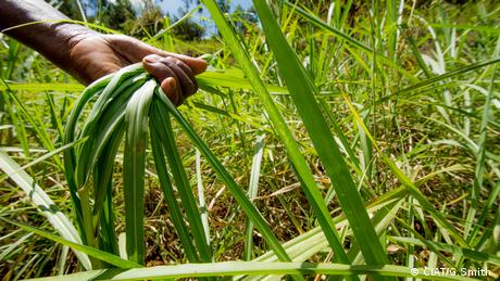 Napier grass in Kenya