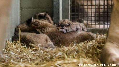 Fünf Löwenbabys im Leipziger Zoo (picture-alliance/dpa/J. Woitas)