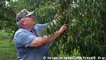 August 10, 2016, USA: Bill Bader surveys his peach trees for damage he says is from illegal use of the herbicide, dicamba. Bader, who runs Missouri s largest peach farm, says he may end up losing half of his 900 acres of peach trees. USA PUBLICATIONxINxGERxSUIxAUTxONLY - ZUMAm67 20160810zafm67111 Copyright: xBrycexGrayx