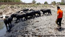 This picture shows buffalos in an empty riverbed in Umm Abbasiyat, some 60 kilometers east of Najaf, on July 5, 2018. - Beyond this year's dramatic lack of rain, experts say a central reason for Iraq's creeping drought is the regional sharing of its water resources. Neighbouring Turkey and Iran in recent years have both rerouted cross-border water sources they share with Iraq. (Photo by Haidar HAMDANI / AFP) (Photo credit should read HAIDAR HAMDANI/AFP via Getty Images)
