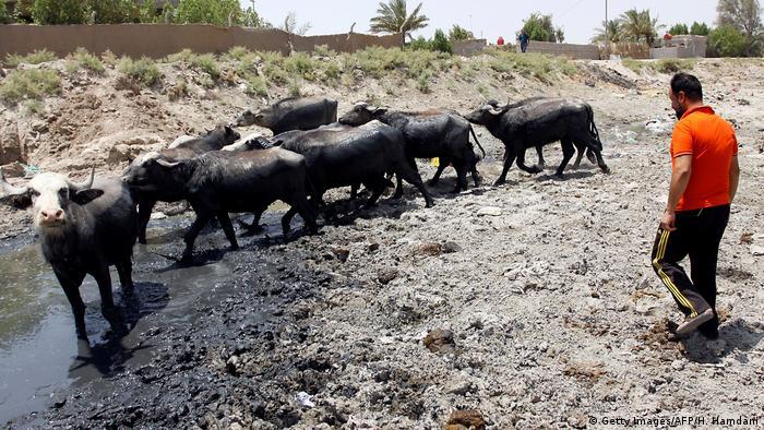 Irak Trockenheit und Dürre, Kühe und ein Mann