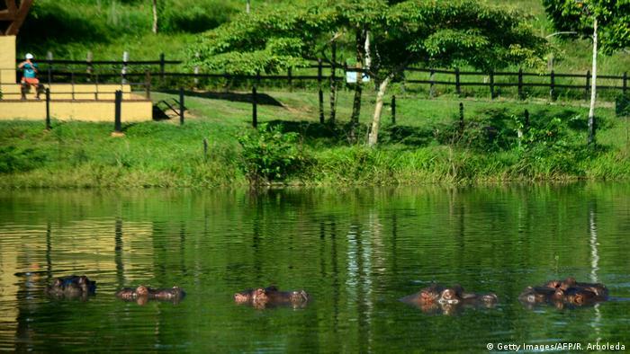 Familia de hipopótamos en inmediaciones de Doradal, Colombia