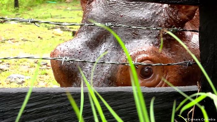 Kolumbien Flusspferde (Cornare Colombia)