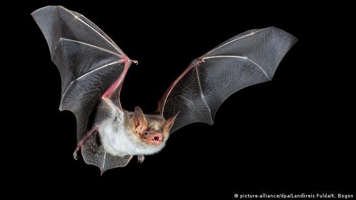 اكتشف باحثون وجود 6 أنواع من فيروسات كورونا في خفافيش ميانمار