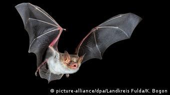 Ученые выясняют, могут ли летучие мыши быть источником коронавируса SARS-CoV-2