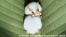 Weiße Fledermaus Tent Making Honduran White bat