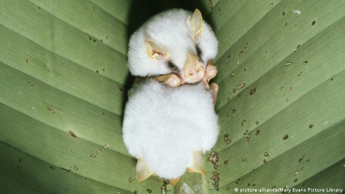 Honduran white bat laying in a leaf