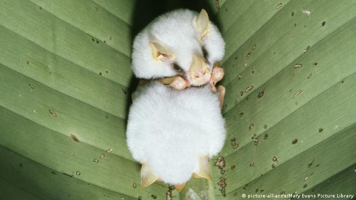 Білий кажан у листі геліконії