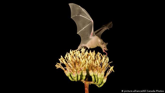 Довгоносий кажан ласує нектаром квітів