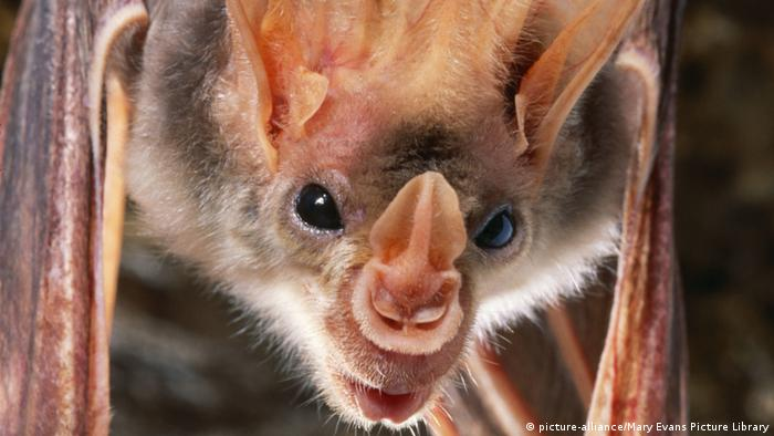 Indischer Falscher Vampir Ghost False Vampire bat (picture-alliance/Mary Evans Picture Library)