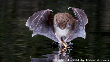 A bat snatches an insect from the water