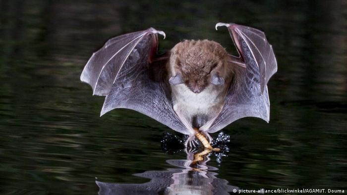 A water bat dancing on the water's surface