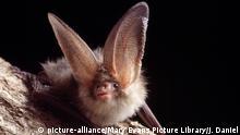 Brown / Common Long-eared / Long-eared BAT - Close-up on tree (Plecotus auritus) | Keine Weitergabe an Wiederverkäufer.