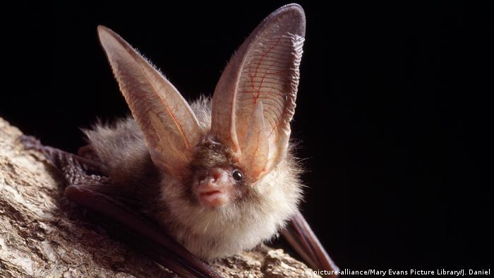 Plecotus auritus, common long-eared bat