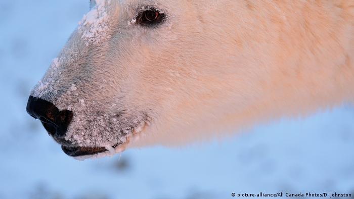 La cara de un oso polar de cerca.