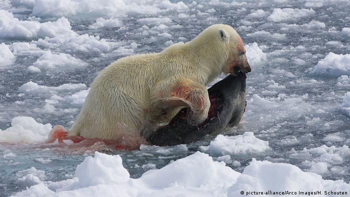 A polar bear with a seal in its mouth