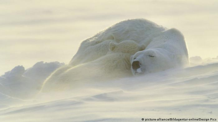 A polar bear and her cub take a nap during a snowstorm