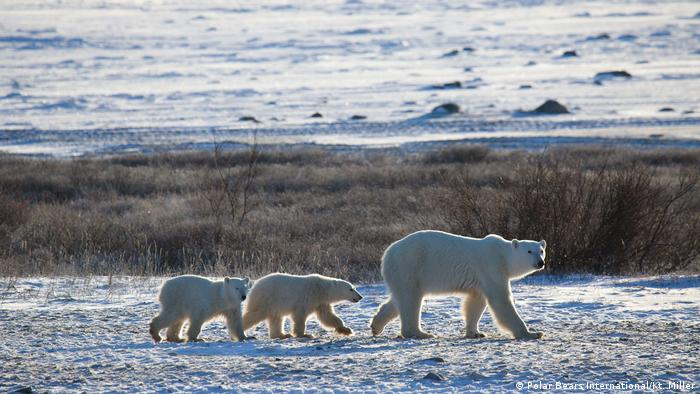 A polar bear mother and her two cubs walking in Manitoba
