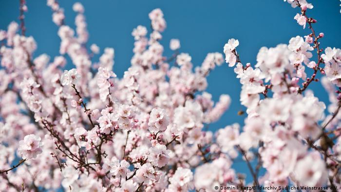 Цветение миндаля в Пфальце (Германия)