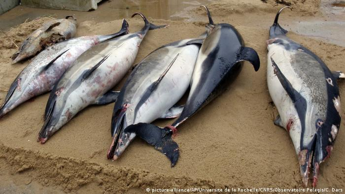 Dead dolphins found on the shores of the Atlantic coast in western France