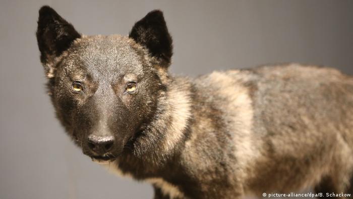 Чучело одного из тюрингских волкособов в эрфуртском Музее естествознания